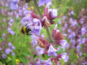 Bed of sage - heaven for bees