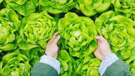 Boston Lettuce for Salad Nicoise
