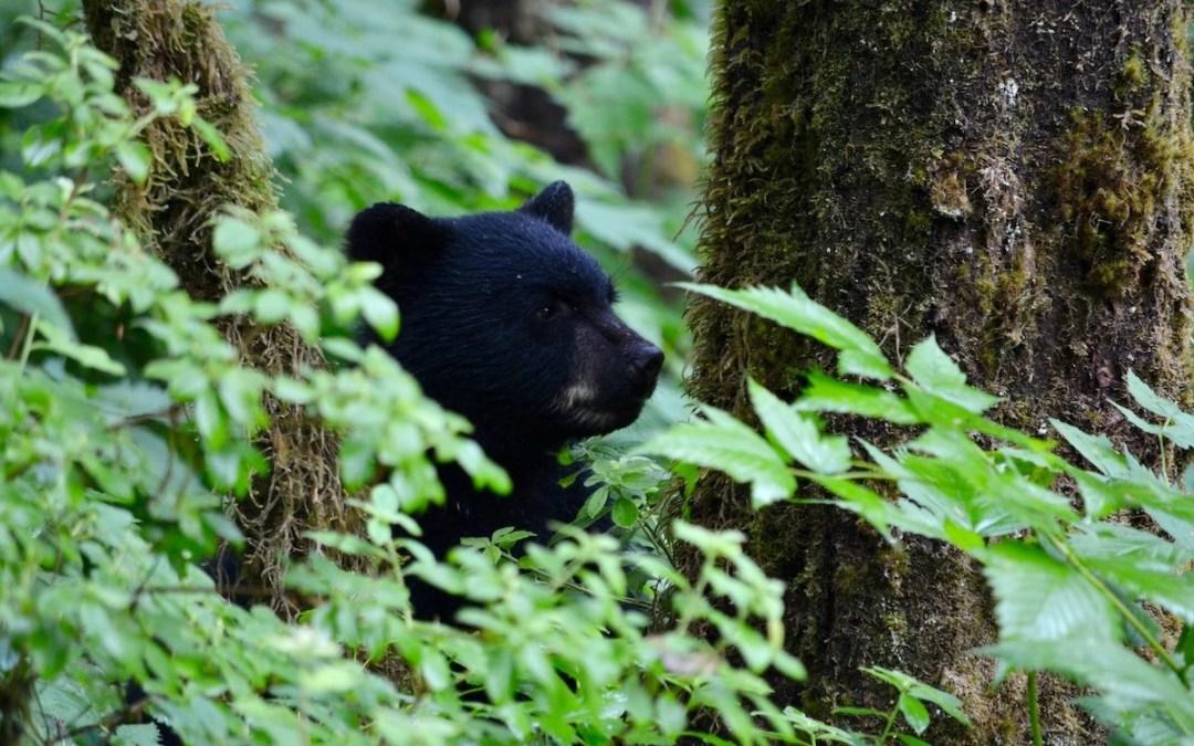Black Bears and Inspiration
