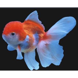lionhead oranda goldfish Rebel Pets