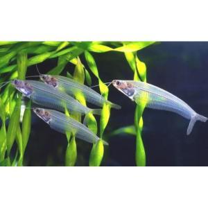 Glass Catfish at Rebel Pets