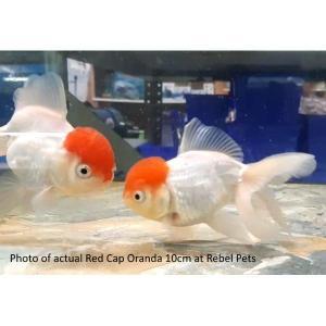 Red Cap Orandas 10cm at Rebel Pets