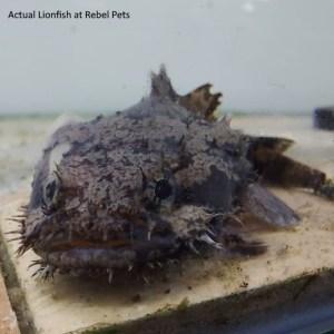 Freshwater Lionfish Closeup at Rebel Pets