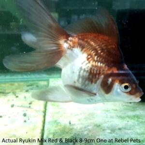 Ryukin Red-Black 8-9cm One at Rebel Pets