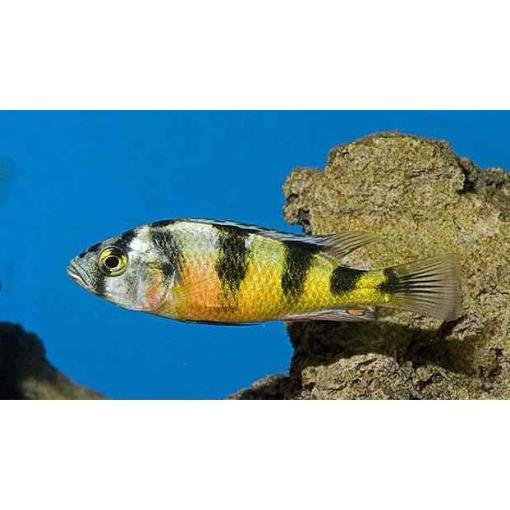 Haplochromis Obliquidens Zebra Hap at Rebel Pets