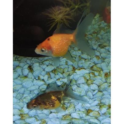 Pearlscale Goldfish at Rebel Pets