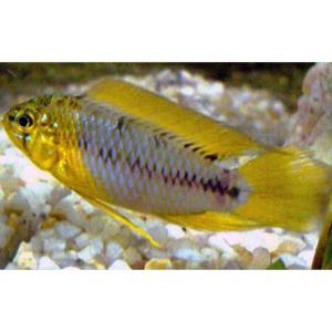 Yellow Borelli Dwarf Cichlid at Rebel Pets