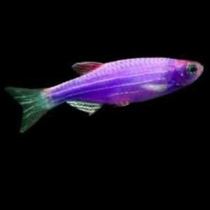 Purple Danio at Rebel Pets