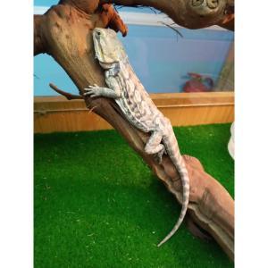 Leatherback Bearded Dragon at Rebel Pets