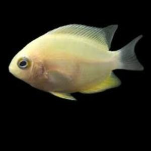 Golden Severum fish at Rebel Pets