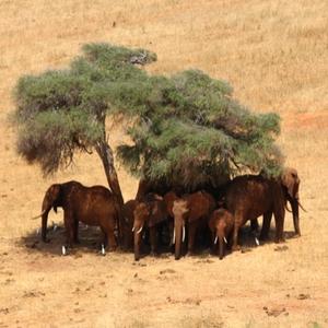elephants enjoying the shade of a tree in Kenya