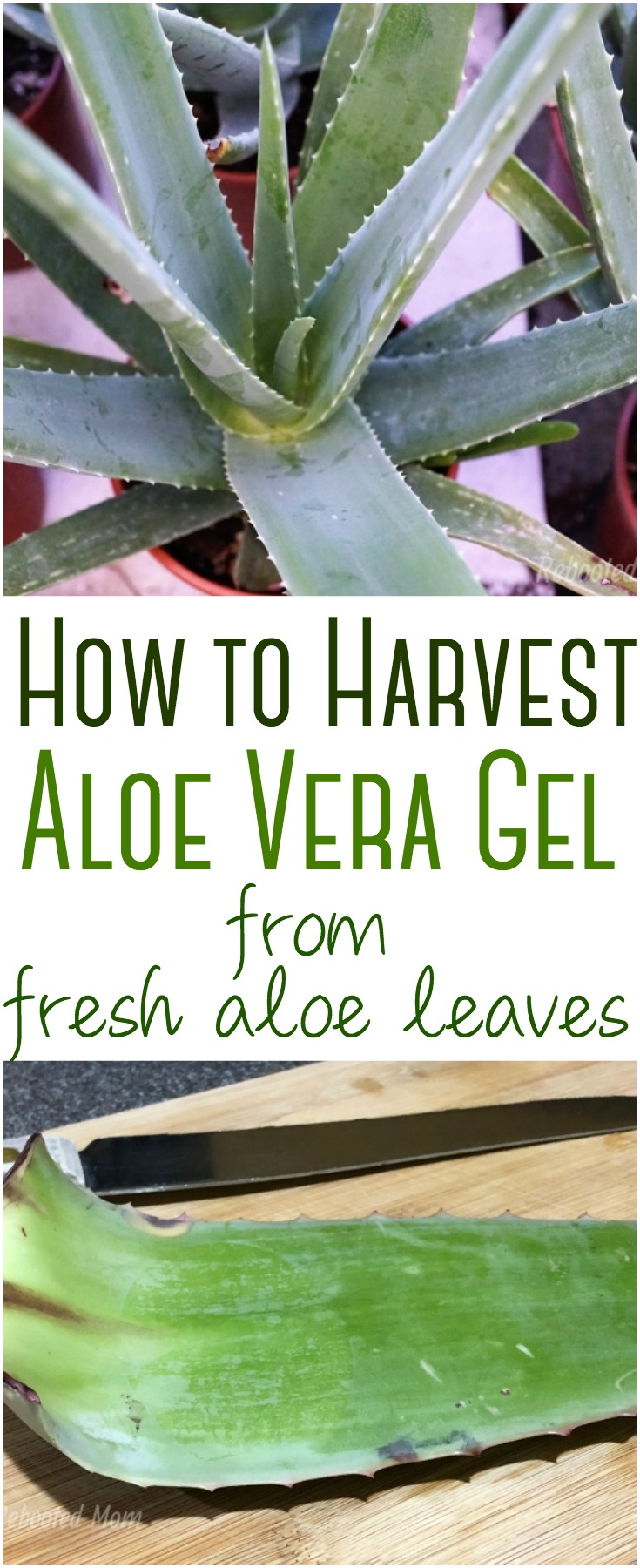 Make your own aloe vera gel from fresh leaves and use it in your beauty and skin care products. Aloe vera gel is natural and a powerhouse for skin care!