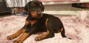 Photo of Doberman Pinscher puppies for sale