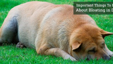 Photo of Bloat In Dogs Gastric Torsion and Bloat Symptoms