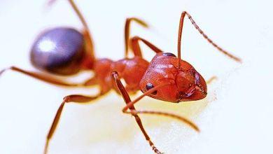 Photo of Carpenter Ant Pest Control in Ottawa