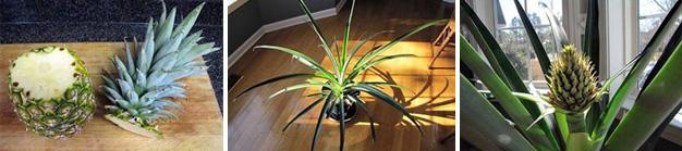 Kweek-je-eigen-ananasplant