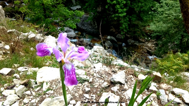 One of the many beautiful Iris that we say along the road. Not sure if they were grown or growing in the wild !