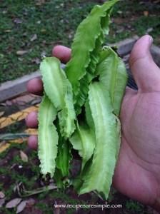 wing bean