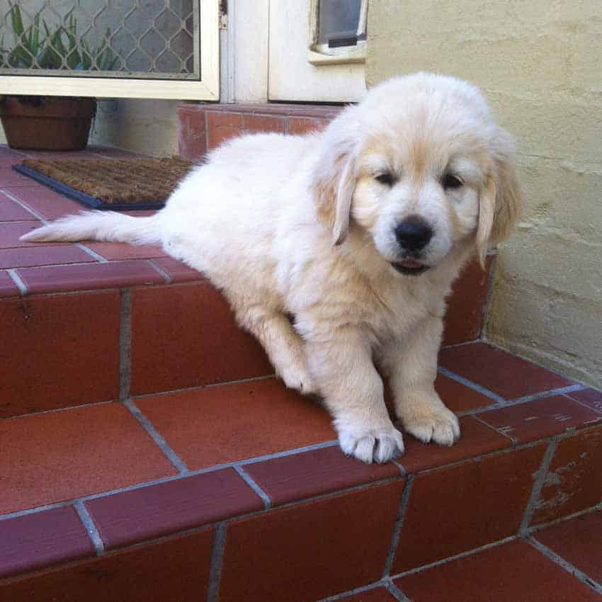 Dozer the golden retriever as a puppy when he couldn't make it down stairs