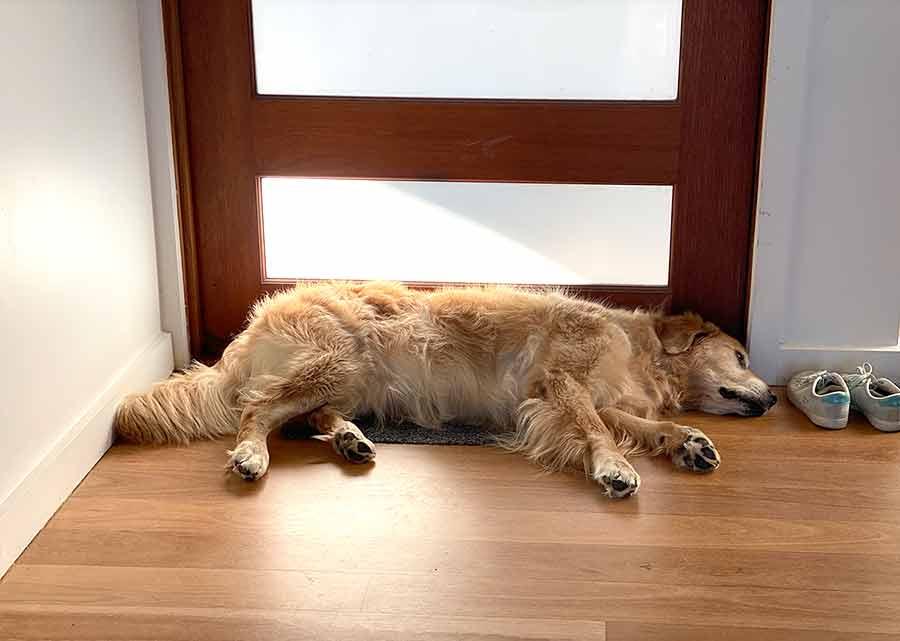 Dozer waiting by front door to go for walk