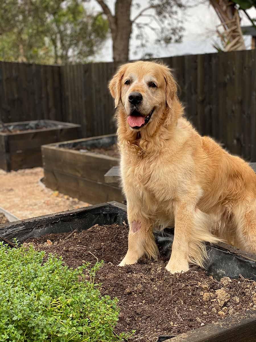Dozer checking out new veg garden