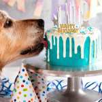 Dozer licking his Drip dog birthday cake
