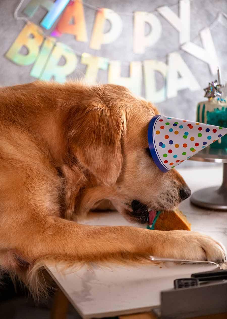 Dozer eating his dog birthday cake