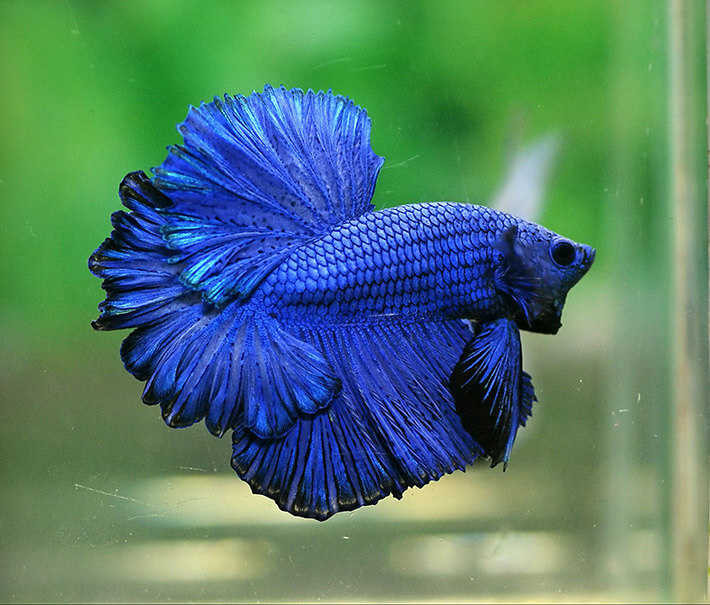 recommended tips cool facts about betta fish recommended tips