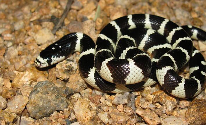 Common-King-Snake