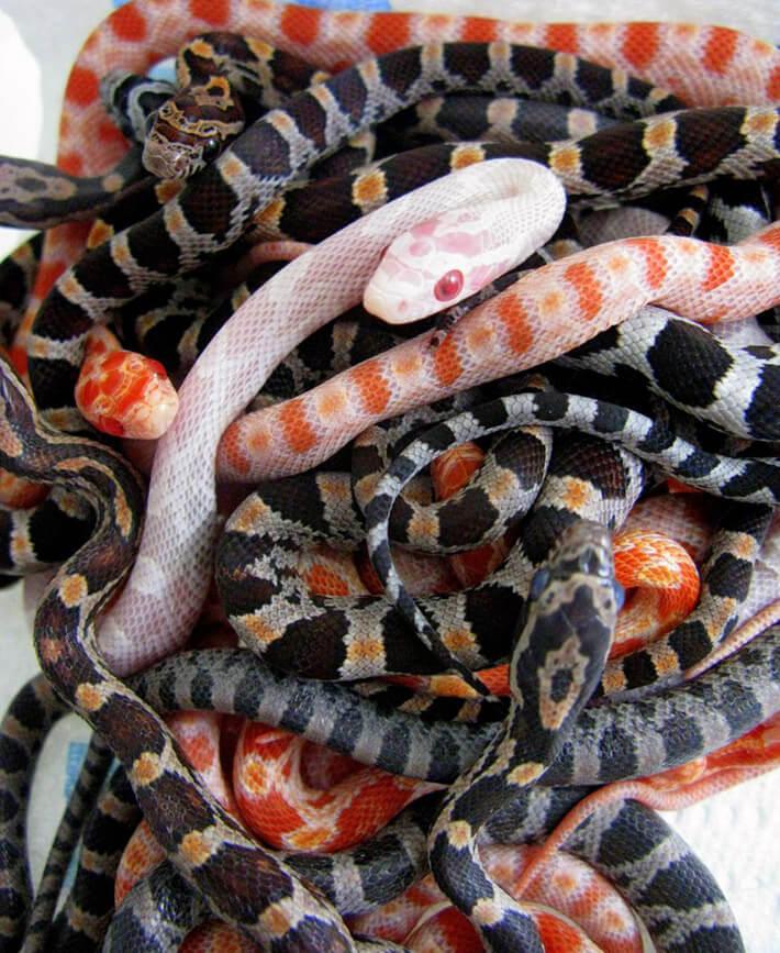 Corn-Snakes