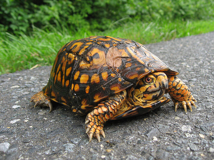 Northern Box Turtle