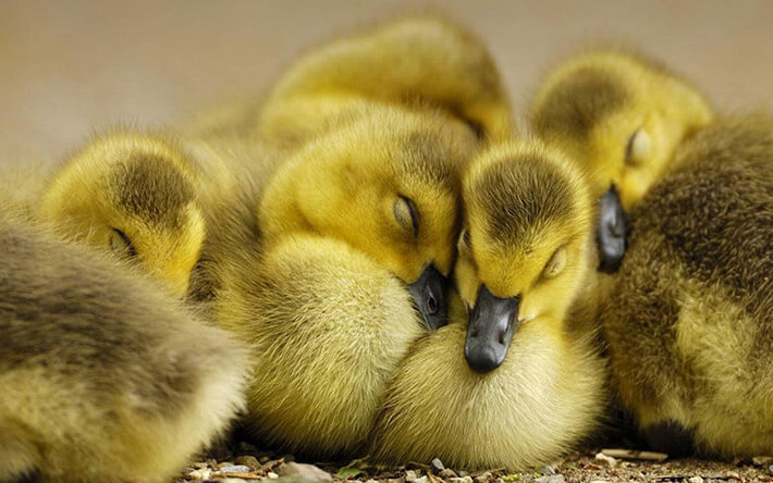Ducks as Pets