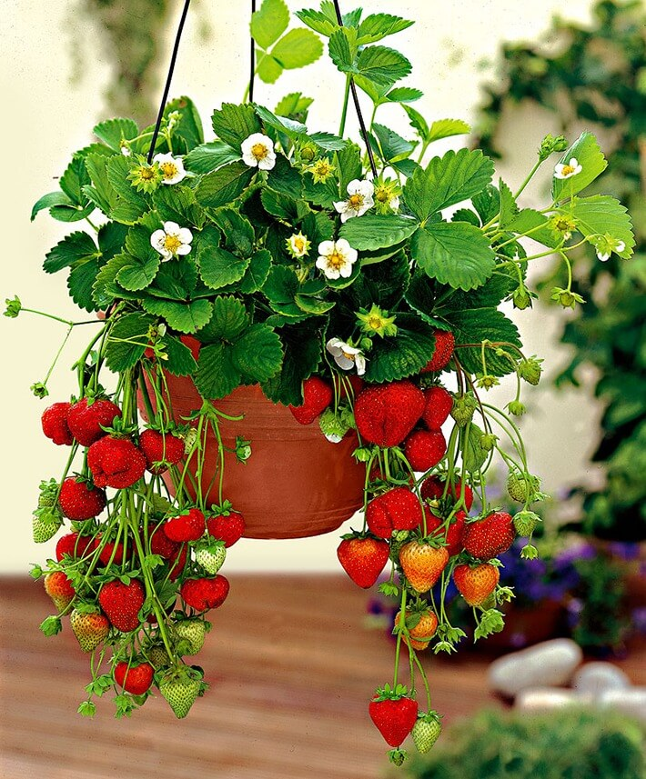 How to Grow Vegetables and Fruits in Hanging Baskets