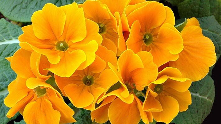 Caring For Primrose Plants