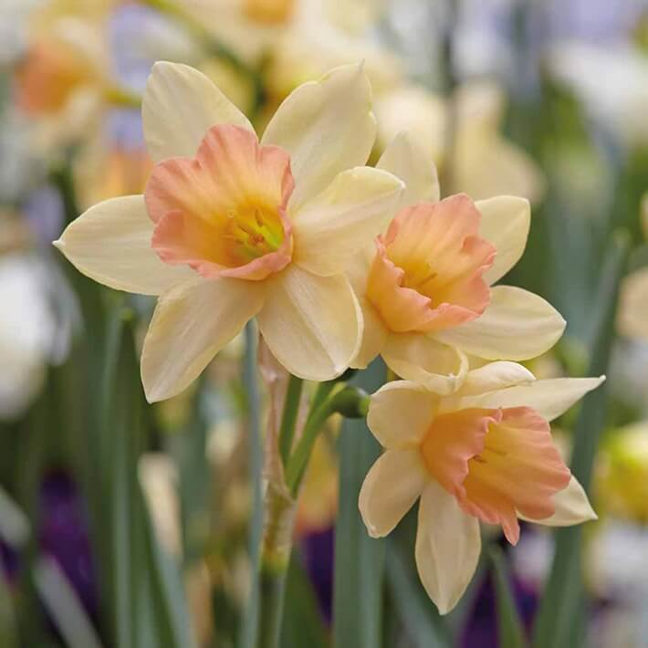 Growing and Caring for Daffodil Bulbs