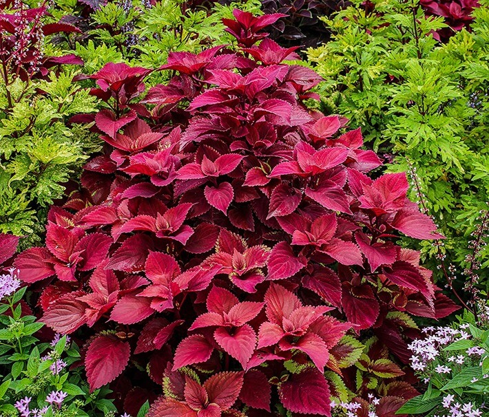 How to Grow Coleus Plants