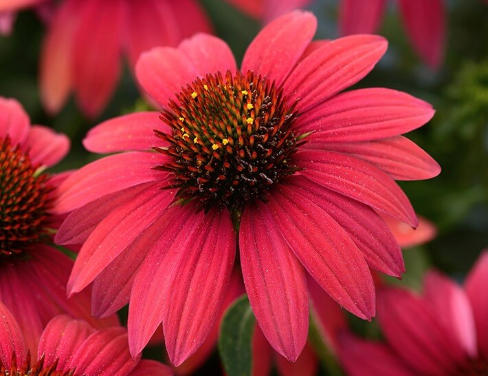 How to Grow Coneflowers