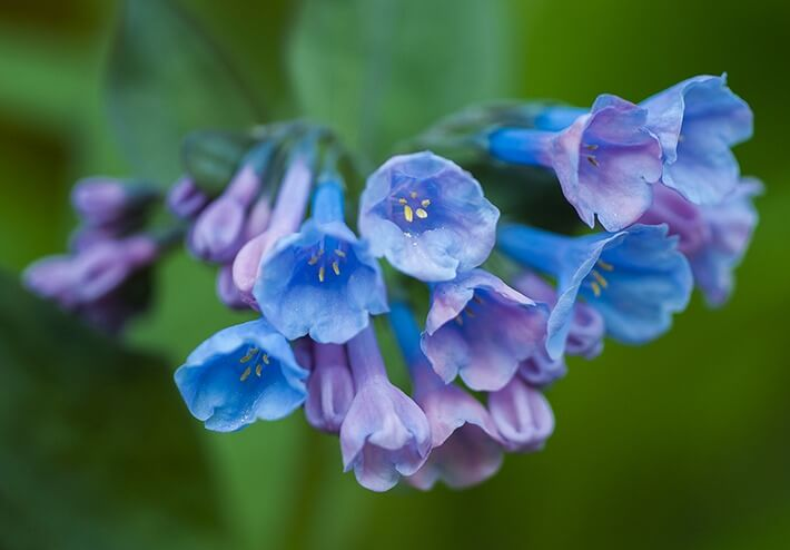 How to Grow Virginia Bluebells