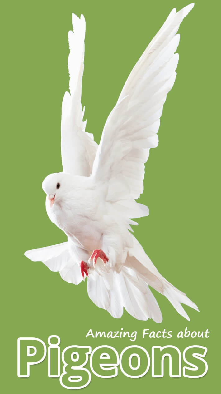 Amazing Facts about Pigeons