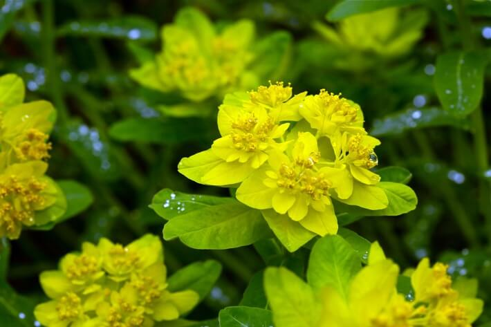 How to Grow Euphorbia Plants