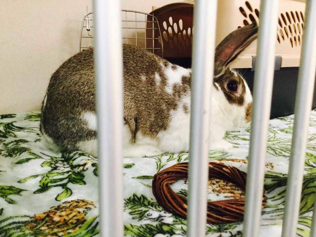 Image of: Chicago Dozens Of Rescued House Bunnies Like This One Await Adoption In Animal Shelters Throughout The Country Columbia Missourian Bunny Festival Educates Public About House Rabbit Adoption The