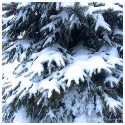 evergreen-tree-winter