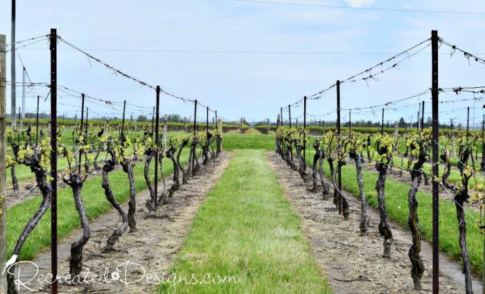 grapes at a winery in Niagara region