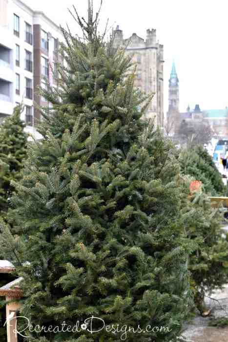 Christmas trees for sale in Ottawa, Canada