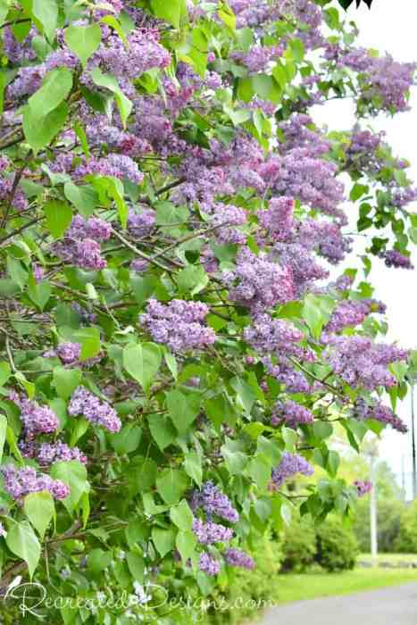 a large lilac bush in the city