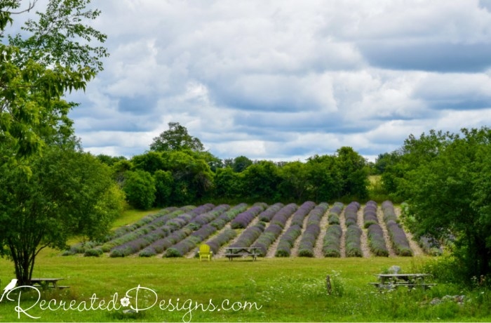 a Lavender field at Prince Edward County Lavender