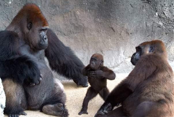 bebe gorila y padres