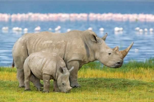 rinoceronte y su cria bebe