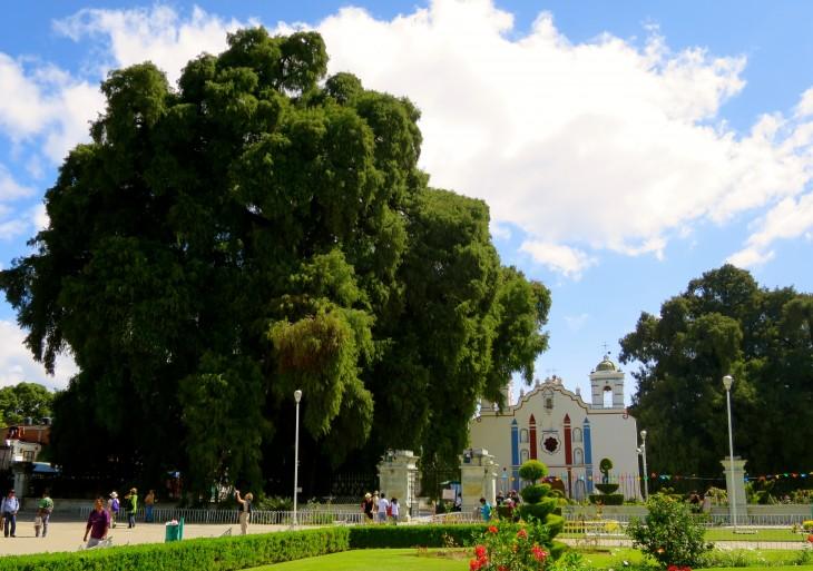 árbol de tule gigante junto a una iglesia en oaxaca