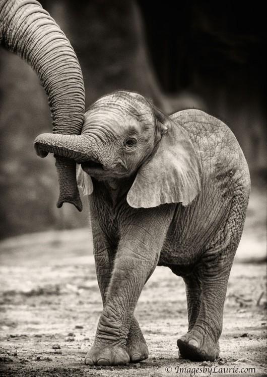 elefantito con la trompa de su madre